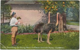 Young Ostriches, Cawston Ostrich Farm, Pasadena, CA California - Early Postcard
