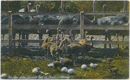 Baby Ostriches, Cawston Ostrich Farm, Pasadena, CA - Early 1900s Postcard