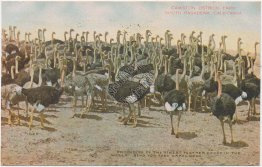 Cawston Ostrich Farm, South Pasadena, CA California 1908 Postcard