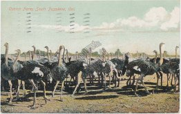 Ostrich Farm, South Pasadena, CA California 1908 Postcard