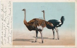 Royal Pair, Ostriches 1905 Detroit Publishing Co. Postcard