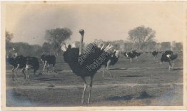 Ostriches - Ostrich Farm? - Early 1900s Photo Photograph