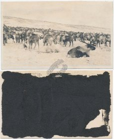 Alaskan Elk in Snow, Alaska AK - Early 1900's Real Photo RP Postcard