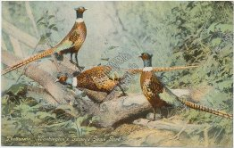 Pheasant Game Bird, Washington WA - Early 1900's Postcard