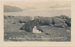 Wounded Bald Eagle, Columbia Glacier, Alaska AK - Early 1900's RP Photo Postcard
