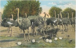All Ages, Cawston Ostrich Farm, South Pasadena, CA - Early 1900's Postcard