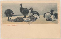 Baby Ostriches - Just Hatched - Pre-1907 Los Angeles, CA Hand Colored Postcard