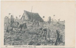 Cultivating Tobacco, Havana, CUBA Pre-1907 Postcard