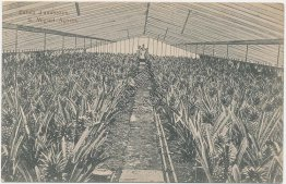 Pineapple Farm, Sao Miguel, Azores - Early 1900's Postcard