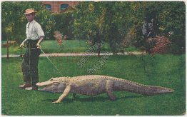 Man Walking Alligator, Farm, Los Angeles, CA California - Early 1900's Postcard