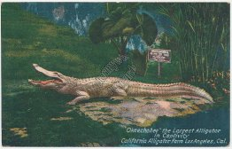 Okeechobee, Largest Alligator, Farm, Los Angeles, CA - Early 1900's Postcard