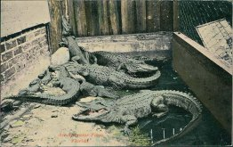 An Alligator Farm, Floirda FL - Early 1900's Postcard