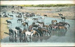 Round Up, Horses Watering - Early 1900's Cowboy Western Themed Postcard