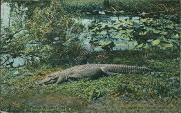 A Ten Foot Florida Alligator, FL - Early 1900's Postcard