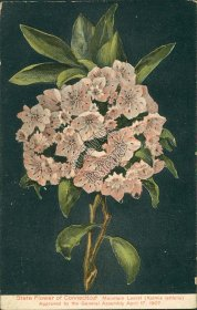 Mountain Laurel, Kalima Latifolia, State Flower, CT Connecticut - Early Postcard