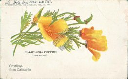 California Poppies, Flowers, CA 1903 Flortssant, CO Cancel Postcard