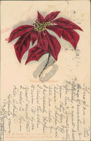 Poinsettia Blossom Flower, Los Angeles, CA 1904 Postcard