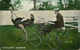 Racing Ostrich, Farm, Jacksonville, FL Florida - Early 1900's Postcard