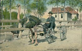 Driving an Ostrich Wagon, Hot Springs, AR Arkansas - Early 1900's Postcard