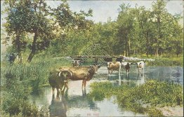Cows, Country Scene - Early 1900's Scenic Postcard