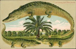 Canary Date Palm, FL Florida - Early 1900's ALLIGATOR BORDER S627 Postcard