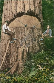 Giant Fir Tree, Logging - Early 1900's Postcard