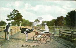 A Florida Ostrich Racer, FL - Early 1900's Postcard