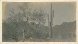 Palo Verde Tree, Cactus, near Phoenix, AZ Arizona - Early 1900's Photo