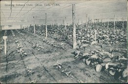 Growing Tobacco Under Cheese Cloth, CUBA - Early 1900's Postcard