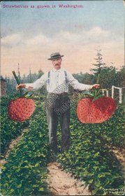 Giant Strawberries as Grown in Washington, WA - Exaggeration Early Postcard