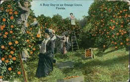 Busy Day in an Orange Grove, FL Florida - 1914 Postcard