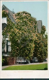 Gold of Ophir Rose Bush, CA California Pre-1907 Postcard